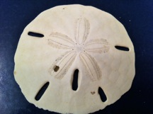 graphic regarding Legend of the Sand Dollar Poem Printable identify The Sand Greenback Legend
